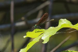 Green Dragon Fly of the Konavle Region Croatia