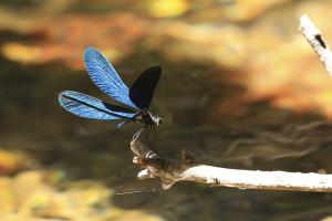 Blue Dragon Fly of the Konavle Region Croatia